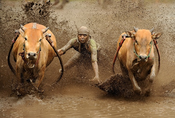 Batusangkar, Indonesia: A jockey spurs cows as they race in muddy rice fiel